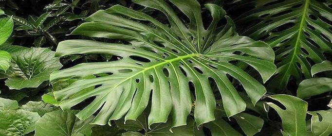 龟背竹的养殖方法和注意事项有哪些
