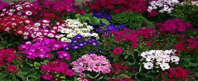 花色丰富的瓜叶菊怎么养殖
