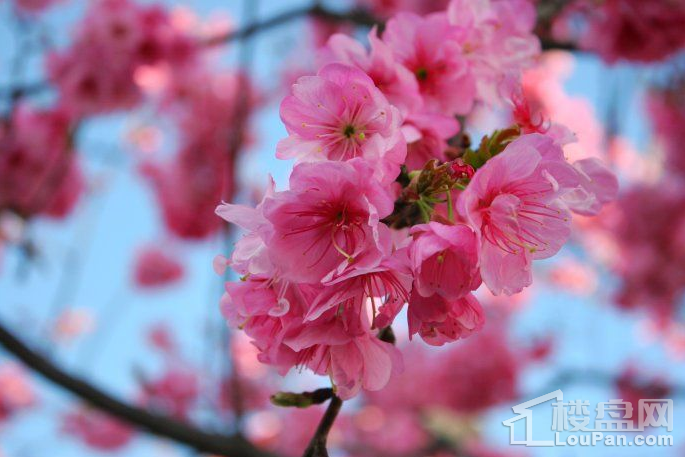 大理古城樱花