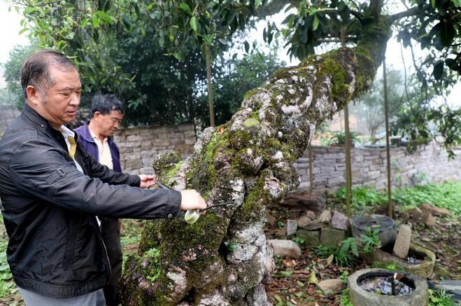 石头村里有棵长满树瘤的百年古印度榕树